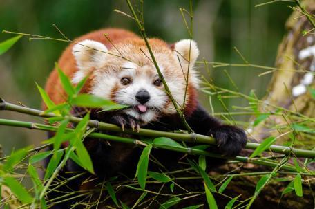 cover red panda.jpg