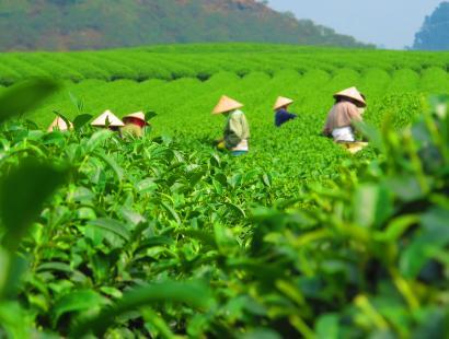 tea field work.jpg