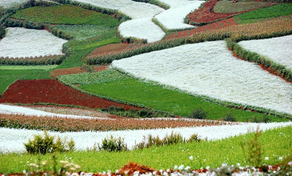 Yunnan flower fields.jpg